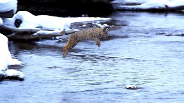 """OUR PLANET DAILY on Instagram: """"Elegant flying bobcat, until the landing. Amazing Bobcat Facts: We are very happy to start this by saying Bobcats a..."""