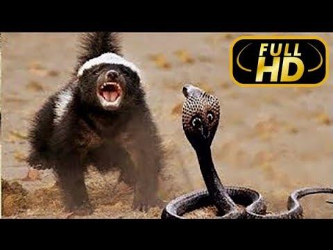 Жизнь Одного Медоеда Медоед Против Змеи FULL HD Документальный фильм на Amazing Animals TV
