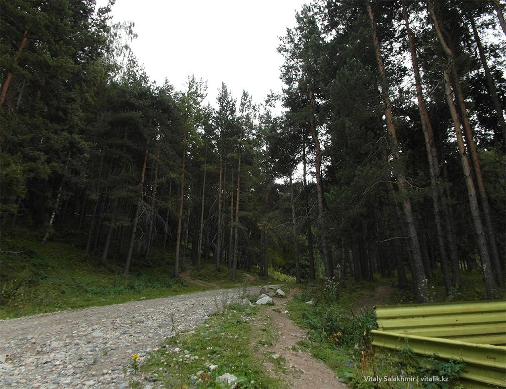 Сосновый лес по дороге в Ким Асар 2018
