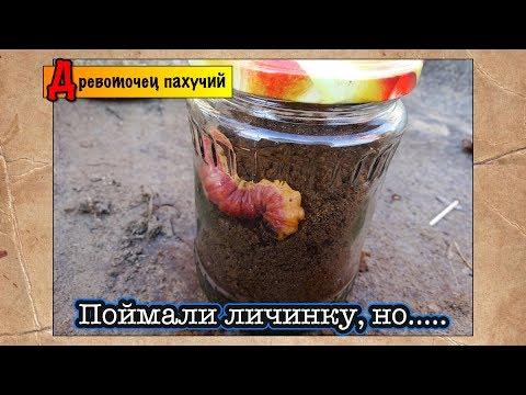 Поймали здоровую личинку ● Древоточец пахучий