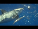 Большая белая акула. Акулы и Пельш трейлер 1 РД Студия