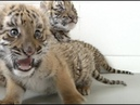 Six Extremely Cute South China Tiger Cubs Growing Stronger in China Zoo