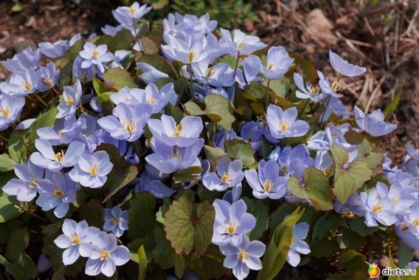 ДЖЕФФЕРСОНИЯ Джефферсония приземистое растение с тонкими сильно разветвленными корнями Цветет рано весной в конце апреля начале мая. На цветоносах высотой 510 см распускаются цветки с