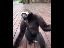 Зов шимпанзе