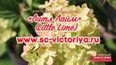 Гортензия метельчатая Литл Лайм Little Lime