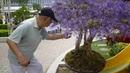 [Nha Trang] Cây mai xanh hoa màu tím giá trăm triệu hút du khách