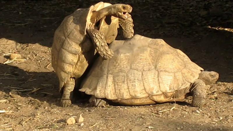 Turtles Having Sex Get Interrupted in San Diego Zoo