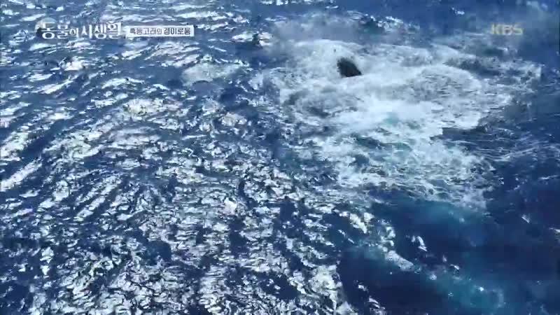 동물의 사생활 - 꼬리지느러미치기 하는 혹등고래★ 20181130