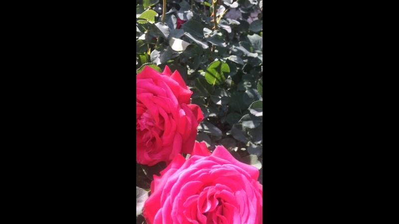 Розовые розы 🌹