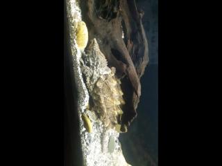 Грифовая черепаха в океанариуме Спб