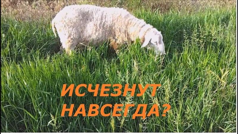 Молочные овцы. Вымирающая порода.