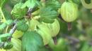 Gooseberry Ribes uva crispa