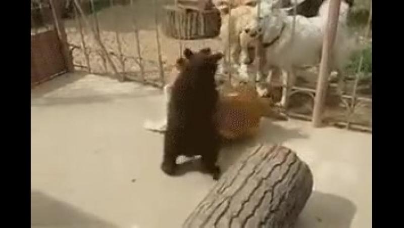 медвеженок борец
