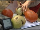 Десятки минусинских дачников бьются в конкурсе на самый большой помидор