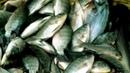 FISH MARKET Incredible fish market Of jhenidah Bangladesh Big fish market part 3
