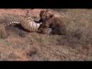5 захватывающих битв в животном мире