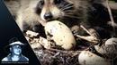 Еноты разоряют гнездо аллигатора