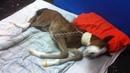 Синдром неонатальной дезадаптации у жеребят: неврологические признаки (видео 3) / Neonatal maladjustment syndrome in foals: neurologic signs (video 3)