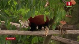 В зоопарке Кельна редкие красные панды обрели новый дом