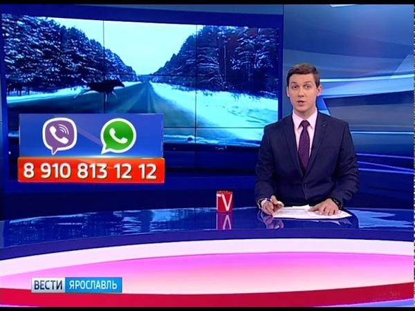В Некрасовском районе лось выскочил на дорогу перед автомобилем