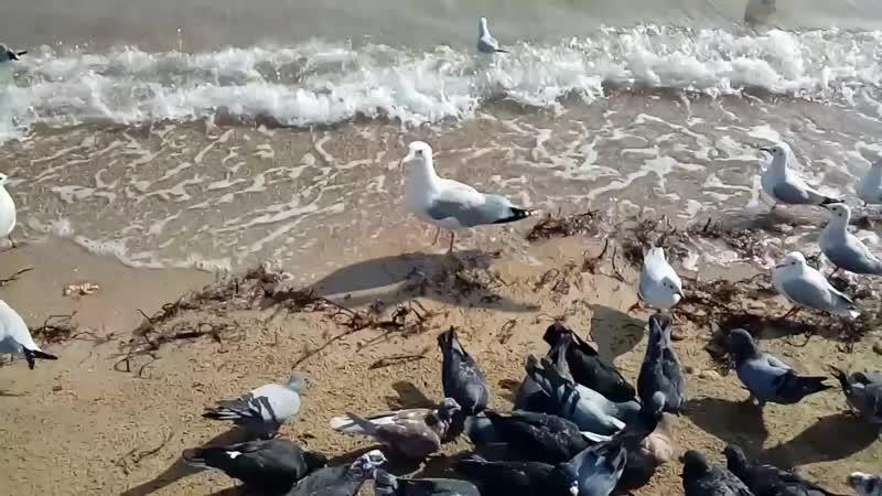 Черное море,чайки и голуби (18.10.18)