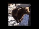 Медведица в челябинском зоопарке радуется весне