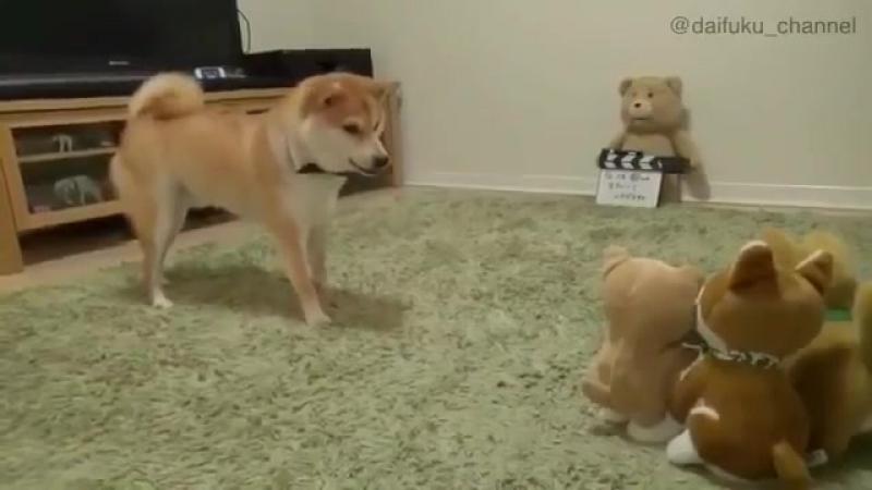 Шибо ину лает на игрушку 😸