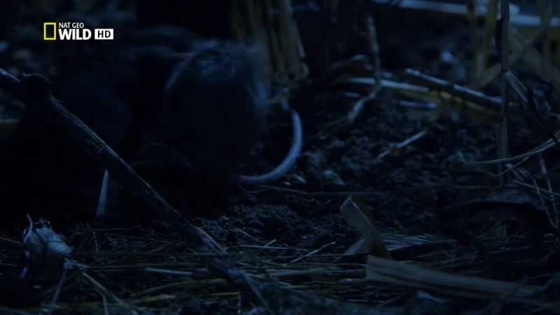 Killer Shrew HDTVRip 720p 2014