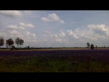 Фиолетовые поля от люпина