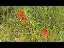 Весенние цветы степи