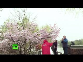 Белая весна в Китае.
