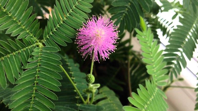 Необычный цветок Мимоза стыдливая