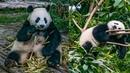 Столица панд! Самые милейшие создания на планете! Сколько стоит общение с ними. Бангкок-Москва, ч.5.