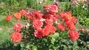 Розы будут цвести всё лето если посадить именно так
