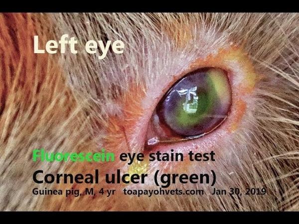 Мутные болезненные глаза у 4-летнего самца морской свинки. Почему? Часть 2 / The 4-year-old male guinea pig has cloudy painful eyes. Why? Pt 2