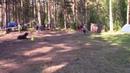 Ильина Ольга кане корсо Гард послушание на защите на лесных играх 2018 11 07 18
