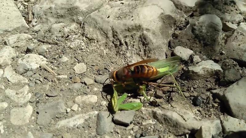 2018 08 11 hornet VS mantis