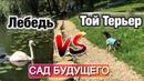 Лебедь VS Той Терьер | ПРУД | «САД БУДУЩЕГО»