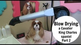 Cavalier King Charles Spaniel Blow Dry- Part 2