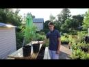 Как сделать живую изгородь за один сезон. Сорта гортензии метельчатой Левана и Киушу