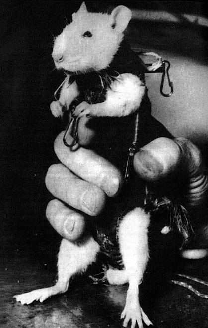 Крыса Гектор – первый французский астронавт, 1961 год.