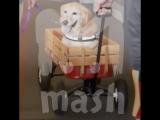 Собака, потерявшая четыре лапы, помогает людям с инвалидностью