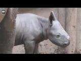 В британском зоопарке родился редчайший черный носорог