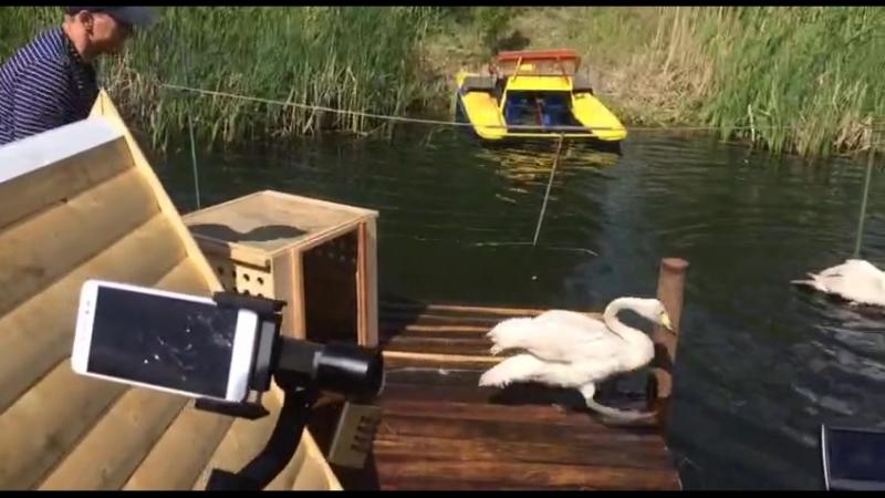 В парке 30-летия ВЛКСМ появились лебеди
