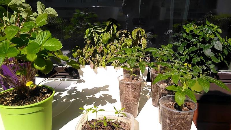 Выращиваю травку на балкончике в Финляндии.