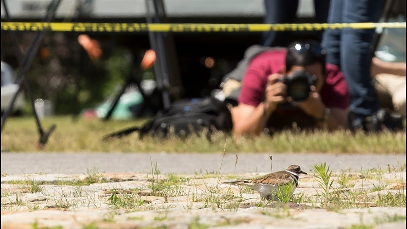 Ottawa Bluesfest hatching plans after Killdeer nests at site of main stage