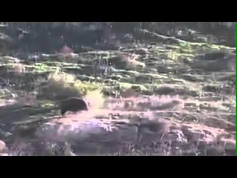 Охота на кабана. Республика Дагестан. Лакский район, селение Ури.