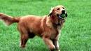 8 Буктрейлер по книге К Гэст Бесценный дар собаки История лабрадора Дейзи собаки детектора которая спасла мне жизнь