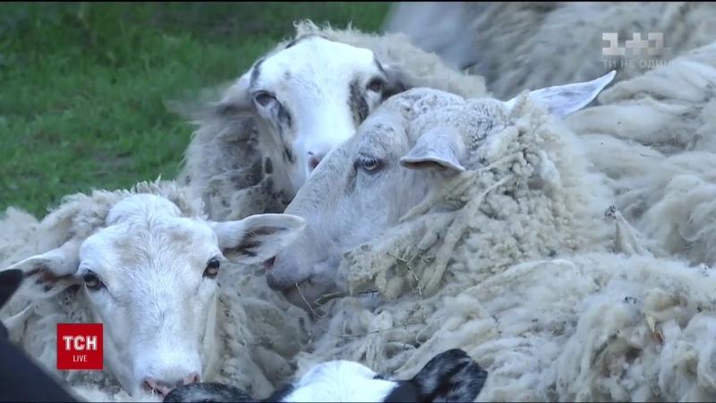 На Тернопільщині невідома істота убила за ніч вісім овець