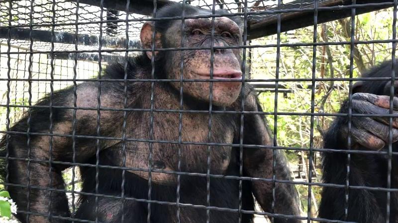 Тройка шимпанзе. Парк львов Тайган.